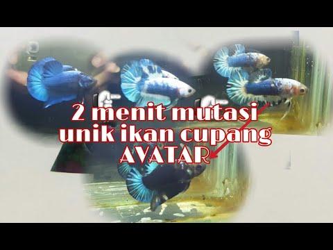 Mutasi Unik Ikan Cupang Avatar Youtube