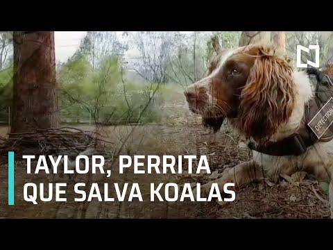 Taylor, la perrita que salva koalas en Australia - Despierta