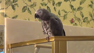 Talking Parrot Is Hilariously Training To Become A Librarian