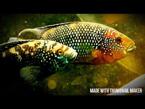 Jack Dempsey Cichlid Fish Care Tips. Tank Mates, Size, Breeding, Diet.