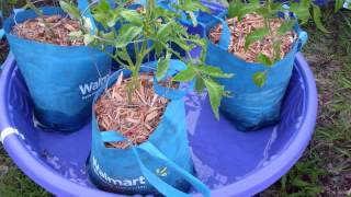 The Kiddie Pool Sub-Irrigated Planter? Crazy Idea? Well maybe not! (Revisited)