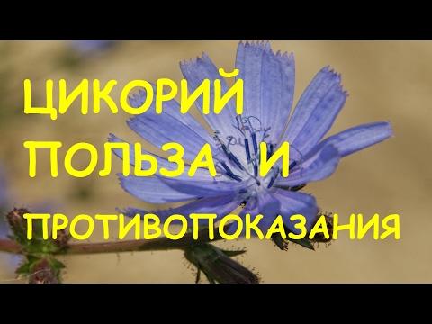 Что такое цикорий - zhenskoe-