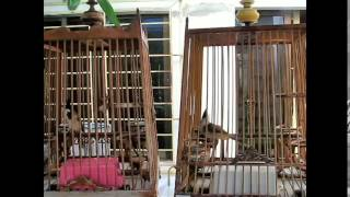 JAMBUL - (Birds show aggression by Butir - Singing Frequency) Phanga vs Leo (BOTH SOLD)
