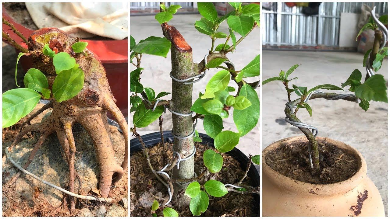 Uốn cây sung con,tạo dáng đẹp cho cây từ nhỏ