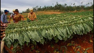 Amazing Tobacco Agriculture Tobacco Farming & Tobacco Harvesting Methods Cultivation of Tobacco