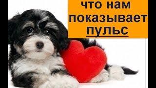 что нам показывает пульс? пУЛЬС - КАК МЕРЯТЬ  И ЧТО ВАЖНОГО ОН НЕСЕТ  перваяпомощь собаке