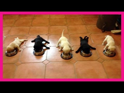 Cute French Bulldog Puppy Love Eating