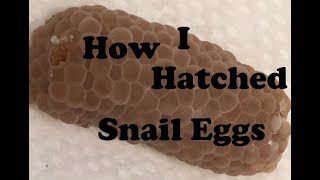 hatching mystery snail eggs - start to finish