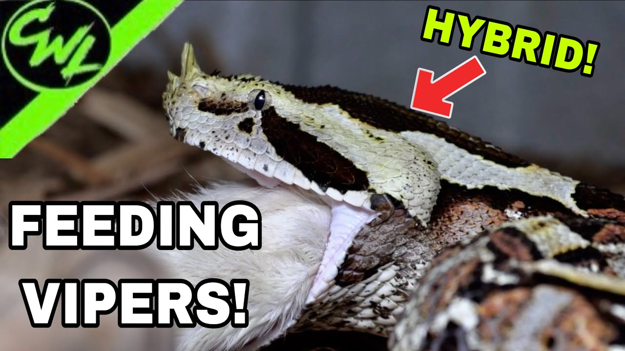 FEEDING INSANE VIPERS!!!