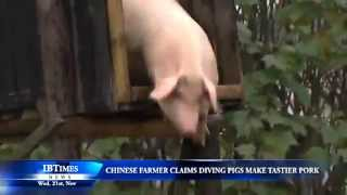 Chinese farmer claims diving pigs make tastier pork