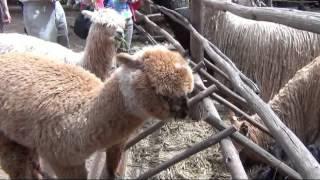 видео Кто такая Альпака? Описание животного Альпака.