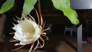 Queen of the Night Flower ( Epiphyllum oxypetalum) Blooming Time lapse.