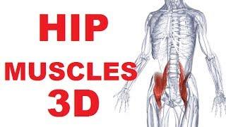 Video Hip Anatomy - Iliopsoas Muscle download MP3, 3GP, MP4, WEBM, AVI, FLV April 2018