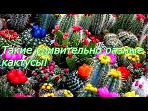 Удивительные кактусы! Где растут кактусы в природе. Виды кактусов. Кактусы в Мексике и Доминикане.