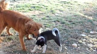 6 Week Old Siberian Husky Puppy Playing With Her Golden Retriever Mix Friend.