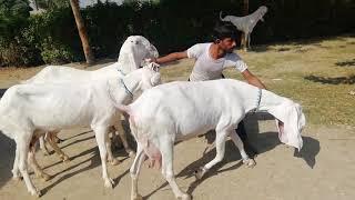 Sajawal Goat faram masha allah hamry pas allaa nasal ke bakreya or bakry hoty hai