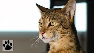 Породы кошек - Ашера. [Ashera (Cat Breed)]
