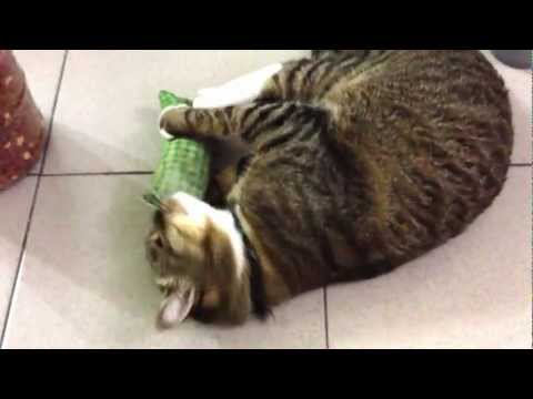 Cat gets high again on silver vine