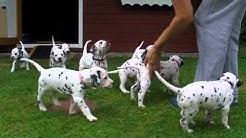 Alles hört auf mein Kommando - Dalmatiner Welpen