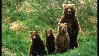 Семейство медведей. Документальный фильм.