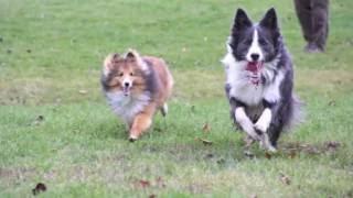 Remi and Gibbs  Border Collie and Shetland Sheepdog