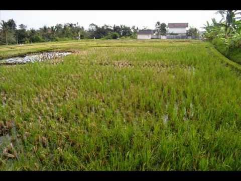Rice fields Land for sale in Canggu Bali