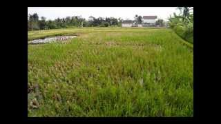 Rice fields Land for sale in Canggu Bali