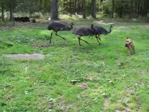 Emus and dog playing in the backyard YouTube