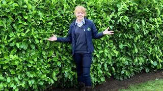 How to plant an instant hedge
