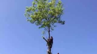 Dropping the crown out of a mature multi stemmed ash tree, from a distance | ClearcutTrees
