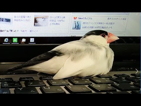 文鳥 口 を 開ける