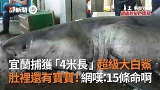 宜蘭捕獲「4米長」超級大白鯊 肚裡還有寶寶!網嘆:15條命啊