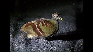 Melihat Aktifitas Burung Mamoa Di Malam Hari