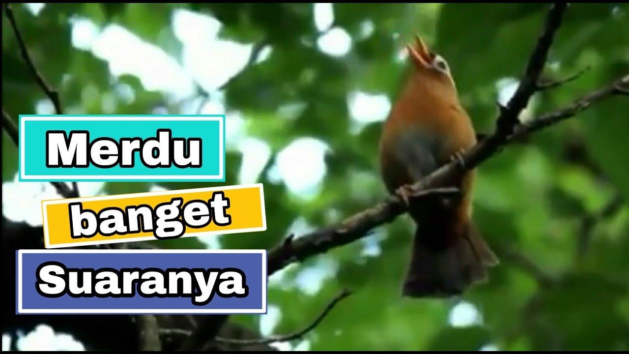 Kicau Burung Wambi Di Alam Liar Wambi Gacor Masteran Burung Youtube