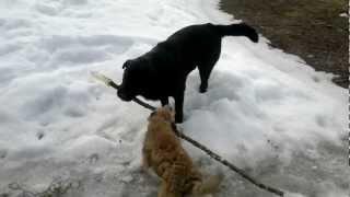 Border Terrier Vs. Black Labrador.mp4