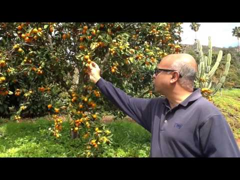 Organic Kumquats - Harvest of the Month - San Diego Farm to School