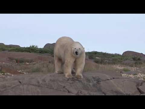 Churchill, Manitoba, Canada - Beluga Whales and Polar Bears