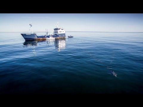 Costa + OCEARCH: Tagging Miss Costa Shark