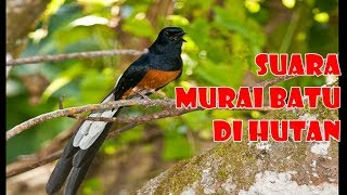 Download Mp3 Suara Murai Batu Hutan, Nyaring Dan Merdu, Ampuh Untuk Terapi-2