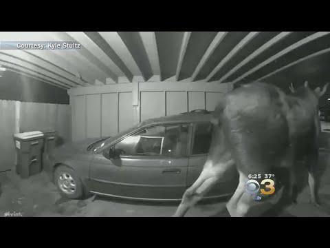 Woody Johnson - (WATCH) Moose Rings Alaska Home's Doorbell