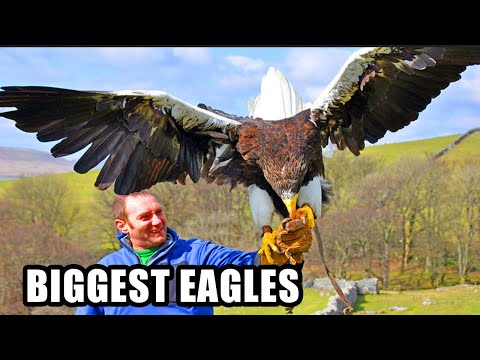 Best Eagle Attacks! World