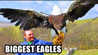 Best Eagle Attacks! World's Largest & Deadliest - Golden, Bald and Haast's Eagles