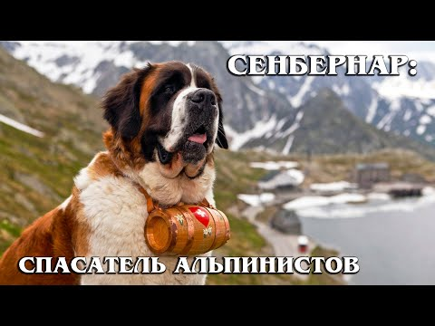 СЕНБЕРНАР: Лучший спасатель, сторож, усатый нянь и друг человека | Интересные факты про породы собак