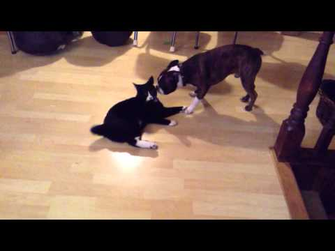 Boston Terrier VS Manx Cat