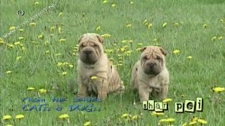 Chinese Shar Pei Puppy Springtime - Shar-pei #03