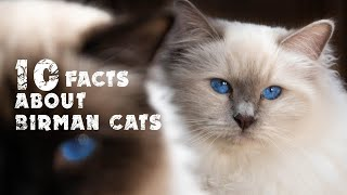 10 facts about Birman Cats