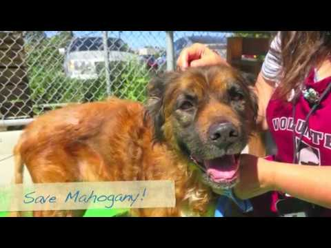 Please Help Save Mahogany ASAP! Senior Sweet Girl at 10 yr.!