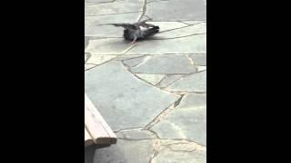 公園を散歩していたら 何やら鳩が暴れていたので撮りました!