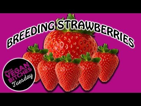 Breeding Strawberries