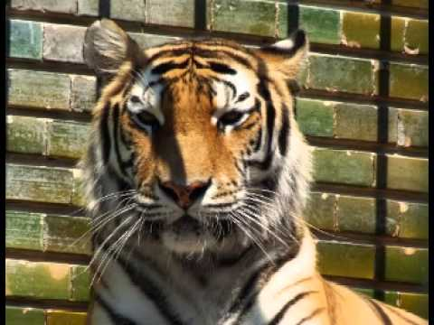 Siberian Tiger Facts - Facts About Siberian Tigers